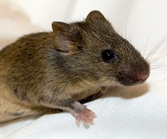 Chimeric Mouse Production